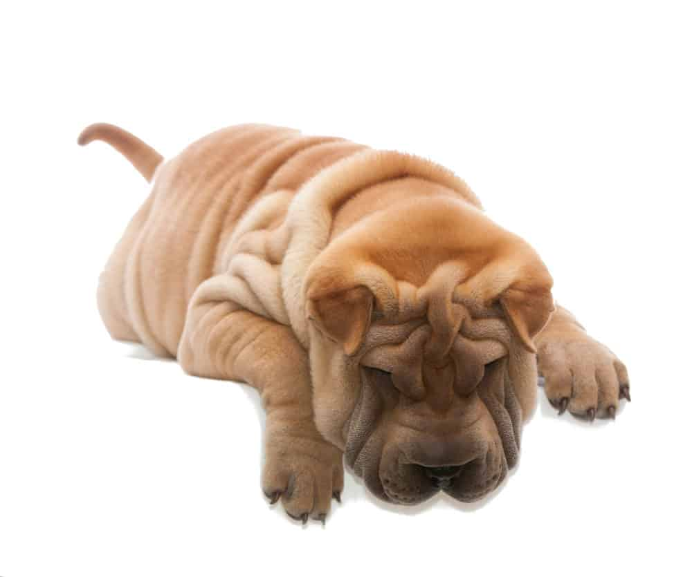 Shar pei Club Italiano